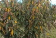 FOT. 4b. Porażenie drobną plamistością liści drzew pestkowych wiśni czereśni
