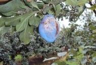 FOT. 5b. Śliwki uszkodzone przez grad - mocno porażony owoc