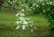 FOT. 6. Charakterystyczne objawy srebrzystości liści drzew owocowych na liściach śliwy
