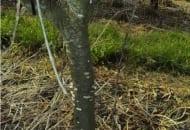 FOT. 7. Pień drzewa porażonego srebrzystością liści nadal stanowi źródło zakażenia