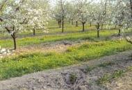 FOT. 8a. Przykłady prawidłowego postępowania sadownika w ograniczaniu źródła infekcji patogenu powodującego srebrzystość liści: drzewo usunięto w całości z karpą korzeniową