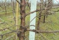FOT. 9. Czereśnie i pozostałe gatunki pestkowe bardzo porażone przez raka bakteryjnego drzew pestkowych (tutaj czereśni odmiany 'Kordia' na podkładce 'GiSelA 5')