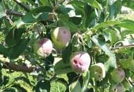 FOT. 1a. Zawiązki owocowe na jabłoni uszkodzone przez grad w czerwcu