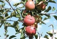 FOT. 1b. Jabłka przed zbiorem z zabliźnionymi ranami dzięki użyciu odpowiednich ś.o.r. i nawozów zawierających aminokwasy