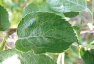 FOT. 1a. Liście jabłoni z objawami porażenia parchem jabłoni z infekcji pierwotnych.