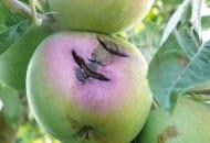 FOT. 3. Pękanie jabłek jest częstym następstwem porażenia parchem jabłoni w fazie wzrostu zawiązków owocowych