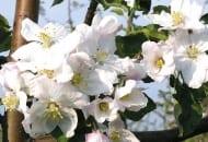 FOT. 4. Obfite kwitnienie i mocne kwiaty jabłoni stwarzają warunki lepszego zapylenia