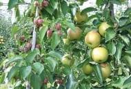 FOT. 5. Jabłoń ozdobna jako zapylacz w sadzie produkcyjnym