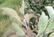 FOT. 1a. Liście na pędzie jabłoni uszkodzone przez pordzewiacza jabłoniowego.