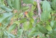 FOT. 1b. Liście na pędzie jabłoni uszkodzone przez przędziorki.