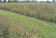 FOT. 2. Plantacja porzeczek po defoliacji na skutek dużej ilości przędziorków