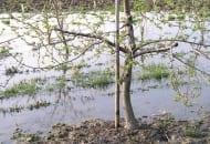 FOT. 3. Podtopienia wiosenne uzasadniają dokarmianie drzew dolistnie