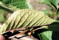 FOT. 6. Objawy niedoboru fosforu na dolnej stronie blaszki liściowej czereśni