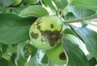 FOT. 3b. Aktywne plamy parcha jabłoni na zawiązkach owocowych