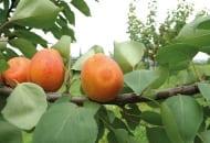 FOT. 6a. Objawy szarki na owocach moreli