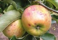 FOT. 8. Objawy gorzkiej plamistości podskórnej na dojrzewających jabłkach