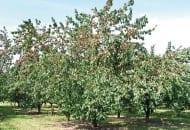 """FOT. 3. Przymrozki powodują często słabe zawiązanie owoców w dolnych partiach korony i """"normalne"""" w górnych"""