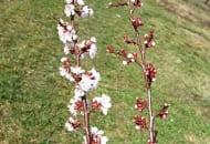 FOT. 5. Pomiędzy odmianami występują różnice w terminie kwitnienia – np. 'Harostar' kwitnie później niż 'Dobrzyńska'