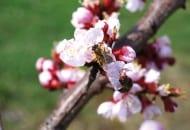 FOT. 6. Pszczoły są niezastąpione w zapylaniu kwiatów
