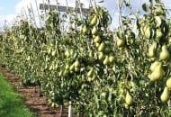 FOT. 2.  W systemie V na każdym z przewodników można uzyskać około 5 kg owoców, co  daje plon około 60 t/ha
