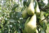 FOT. 4. Najlepszej jakości owoce wyrastają na młodych pędach – mają nie tylko większą  średnicę, lecz także są dłuższe