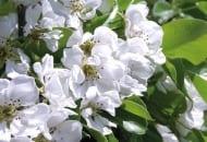 FOT. 5. Od początku wegetacji należy zadbać o jakość liści, bo od tego zależy, czy kwiaty,  a potem zawiązki i owoce będą dobrze odżywione