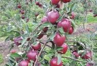FOT. 1. Drzewo odmiany Camspur ®...