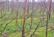 FOT. 3. Adams Apple Red Delicious®  w 3. roku po posadzeniu, po cięciu  prześwietlającym (trudno uformować koronę, ponieważ użyto drzewek  jednorocznych bez uformowanej korony