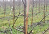 FOT. 4b. 'Erovan' Early Red One® - pozostawiając długie sęki, stymulujemy wyrastanie krótszych pędów zakończonych pąkami kwiatowymi.