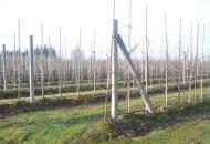 FOT. 5. W sadzie Piotra Szymańskiego drzewka (podkładki) obsypano glebą prawie do miejsca ich okulizacji