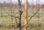 FOT. 7. W celu pobudzenia drzew do wzrostu wycięto na krótko większość pędów zakończonych pąkami kwiatowymi