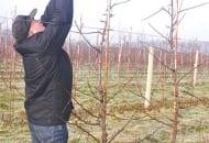 FOT. 8. Romuald Dziuban przycina na krótko przewodnik, a także większość pędów bocznych  w całej koronie drzewa; można też wycinać nadmiar krótkopędów