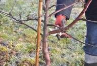 FOT. 1O. Na niektórych drzewach rany rakowe i zgorzelinowe występują od wielu lat, a drzewka  nie zasychają, sadownik zamierza jednak je wykarczować