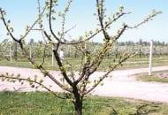FOT. 1. Otwarta, swobodna korona moreli, konary i gałęzie są w niej wyrównane pod względem siły wzrostu