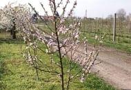 FOT. 2a. Młoda brzoskwinia formowana w kształcie stożka, przed cięciem.