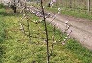 FOT. 2b. Młoda brzoskwinia formowana w kształcie stożka po cięciu, podczas którego pozostawiono pędy boczne słabsze od przewodnika