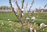 """FOT. 3a. Wiosną poprzedniego roku, pęd boczny został skrócony nad pąkiem """"wewnętrznym""""  (a), z ostatniego pąka """"wewnętrznego"""" wyrósł silny,  pionowy pęd, który w następnym roku należy wyciąć całkowicie, a słabszy wyrastający """"pod spodem"""", odchodzący w bok pod szerokim kątem przyciąć za pąkiem """"wewnętrznym"""" (b)"""