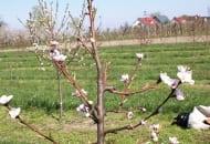 """FOT. 3b. Wiosną poprzedniego roku, pęd boczny został skrócony nad pąkiem """"wewnętrznym""""  (a), z ostatniego pąka """"wewnętrznego"""" wyrósł silny,  pionowy pęd, który w następnym roku należy wyciąć całkowicie, a słabszy wyrastający """"pod spodem"""", odchodzący w bok pod szerokim kątem przyciąć za pąkiem """"wewnętrznym"""" (b)"""
