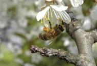 FOT. 2. Zbieraczka pszczoły miodnej na kwiecie czereśni