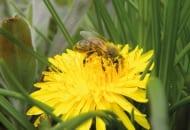 FOT. 3. Kwiaty mniszka lekarskiego wabią pszczoły dużą ilością produkowanego pyłku