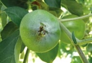 FOT. 3b. Rozeta liściowa rozwijająca się z pąka porażonego mączniakiem jabłoni – objawy tej choroby na zawiązku jabłka