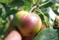 FOT. 4. Zawiązek jabłka z otworem świadczącym o żerowaniu owocówki jabłkóweczki