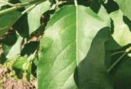 FOT. 7. Objawy parcha jabłoni na liściu z infekcji pierwotnych