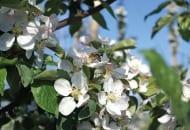FOT. 1a. Owady zapylające są obecne w sadach w okresie kwitnienia