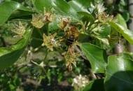 FOT. 1b. Owady zapylające są obecne w sadach w okresie kwitnienia oraz po jego zakończeniu