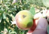 FOT. 2. Objawy parcha jabłoni z infekcji pierwotnych na zawiązku jabłka