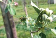 FOT. 5. Gąsienica zwójki liściowej żerująca na liściach rozetkowych