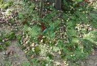 Fot. Efektem przerzedzania chemicznego jest znaczny opad zawiązków owoców oraz wyrównanie wielkości tych pozostałych na drzewach