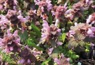 FOT. 2. Jasnota purpurowa