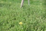 FOT. 6. Zachwaszczenie gwiazdnicą tolerowane przez drzewa, ale przyciągające gryzonie